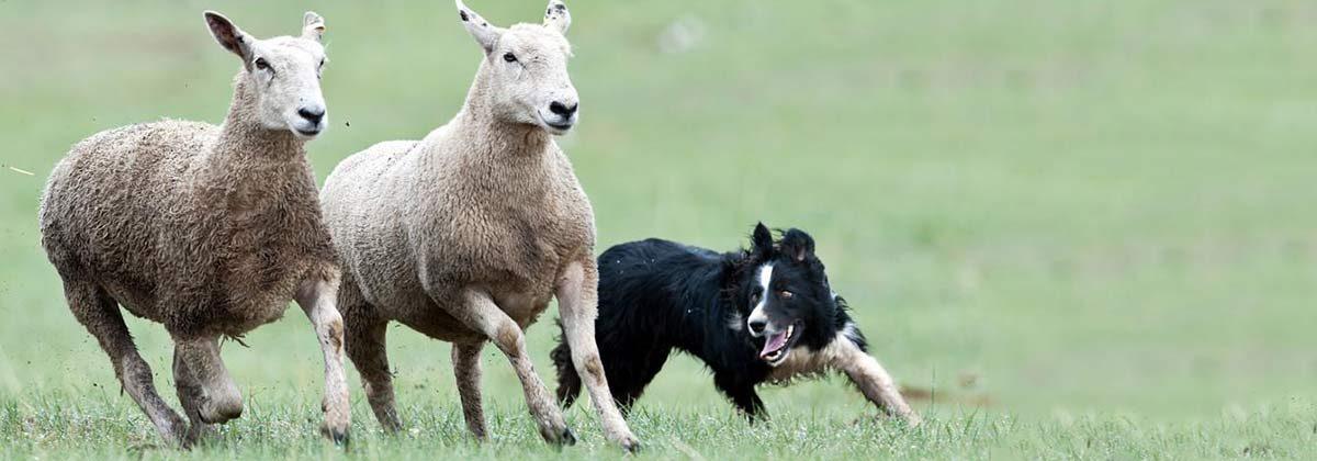Sheep and Herding Dog